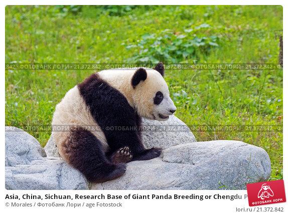 captive breeding in panda bears essay
