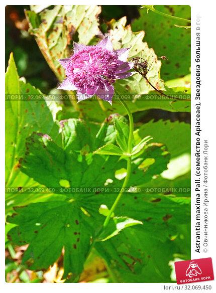 Astrantia maxima Pall. (семейство Apiaceae), Звездовка большая в горах Абхазии (2019 год). Стоковое фото, фотограф Овчинникова Ирина / Фотобанк Лори