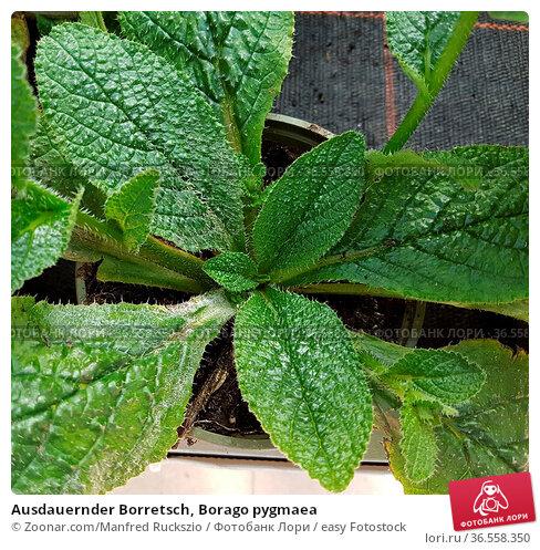 Ausdauernder Borretsch, Borago pygmaea. Стоковое фото, фотограф Zoonar.com/Manfred Ruckszio / easy Fotostock / Фотобанк Лори