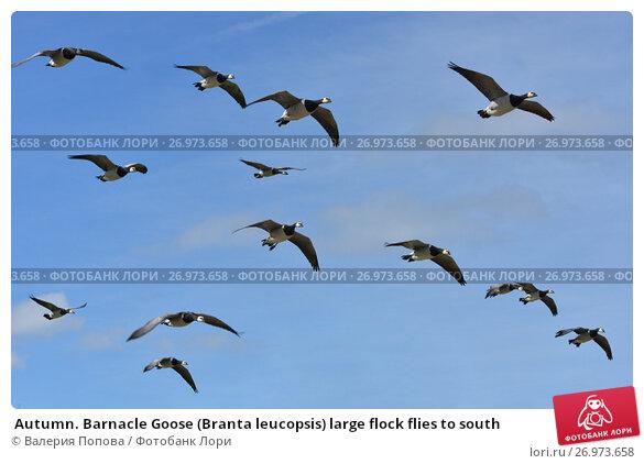 Купить «Autumn. Barnacle Goose (Branta leucopsis) large flock flies to south», фото № 26973658, снято 4 сентября 2017 г. (c) Валерия Попова / Фотобанк Лори