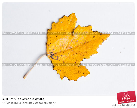 Купить «Autumn leaves on a white», фото № 26928146, снято 10 ноября 2016 г. (c) Типляшина Евгения / Фотобанк Лори