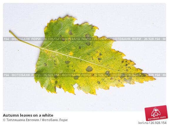 Autumn leaves on a white, фото № 26928154, снято 10 ноября 2016 г. (c) Типляшина Евгения / Фотобанк Лори