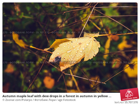 Autumn maple leaf with dew drops in a forest in autumn in yellow ... Стоковое фото, фотограф Zoonar.com/Polarpx / age Fotostock / Фотобанк Лори