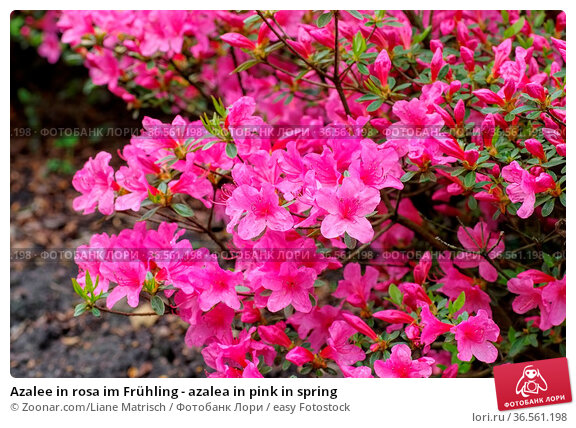 Azalee in rosa im Frühling - azalea in pink in spring. Стоковое фото, фотограф Zoonar.com/Liane Matrisch / easy Fotostock / Фотобанк Лори