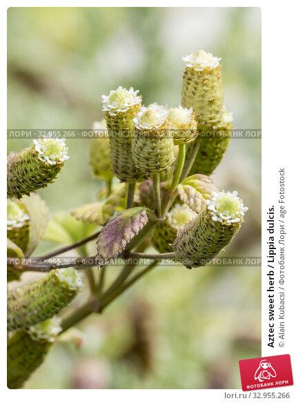 Aztec sweet herb / Lippia dulcis. Стоковое фото, фотограф Alain Kubacsi / age Fotostock / Фотобанк Лори