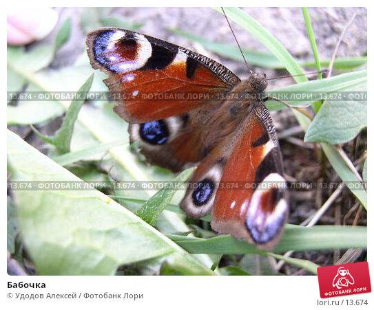 Бабочка, фото № 13674, снято 23 июля 2017 г. (c) Удодов Алексей / Фотобанк Лори