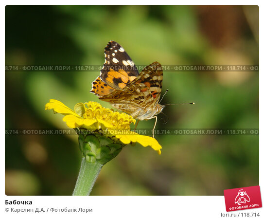 Бабочка, фото № 118714, снято 1 сентября 2007 г. (c) Карелин Д.А. / Фотобанк Лори