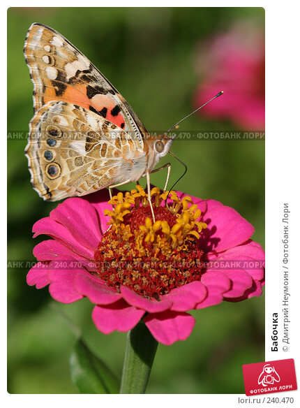 Купить «Бабочка», эксклюзивное фото № 240470, снято 7 сентября 2004 г. (c) Дмитрий Неумоин / Фотобанк Лори
