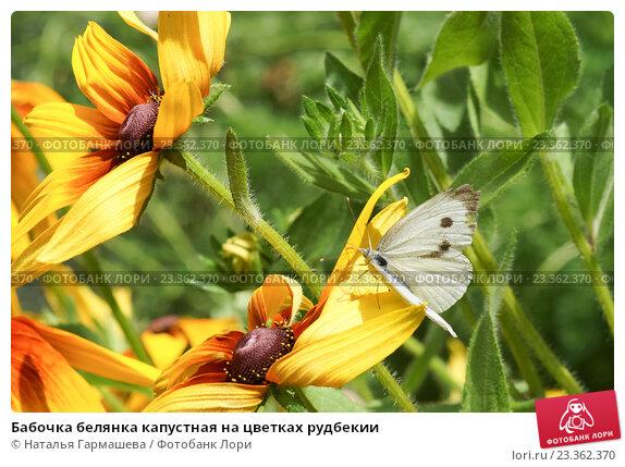 Купить «Бабочка белянка капустная на цветках рудбекии», фото № 23362370, снято 16 июня 2012 г. (c) Наталья Гармашева / Фотобанк Лори