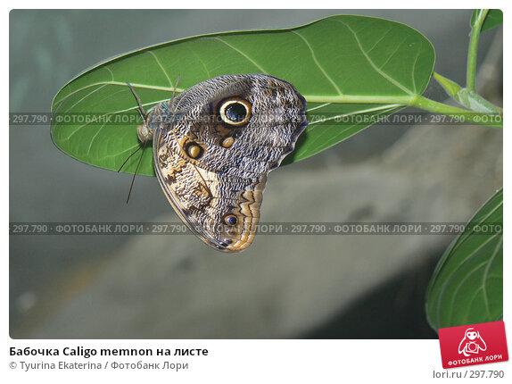 Бабочка Caligo memnon на листе, фото № 297790, снято 19 апреля 2008 г. (c) Tyurina Ekaterina / Фотобанк Лори