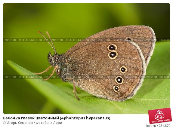 Бабочка глазок цветочный (Aphantopus hyperantus), фото № 281870, снято 17 июня 2007 г. (c) Игорь Семенов / Фотобанк Лори