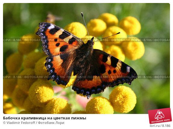 Бабочка крапивница на цветках пижмы, фото № 8186, снято 11 августа 2005 г. (c) Vladimir Fedoroff / Фотобанк Лори