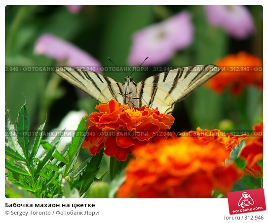 Купить «Бабочка махаон на цветке», фото № 312946, снято 7 января 2004 г. (c) Sergey Toronto / Фотобанк Лори