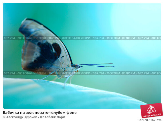 Бабочка на зеленовато-голубом фоне, фото № 167794, снято 3 января 2008 г. (c) Александр Чураков / Фотобанк Лори