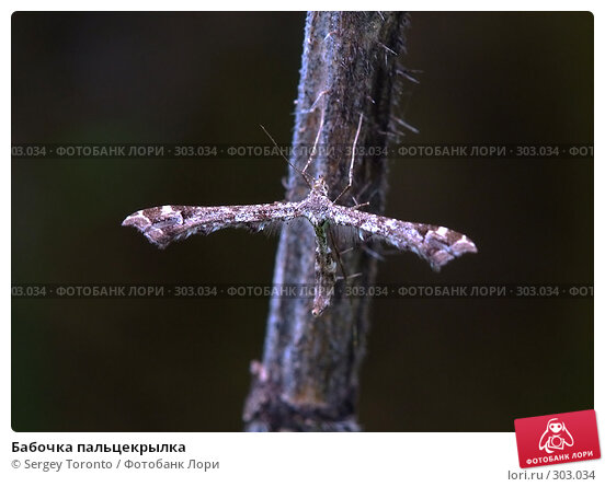 Бабочка пальцекрылка, фото № 303034, снято 11 мая 2008 г. (c) Sergey Toronto / Фотобанк Лори