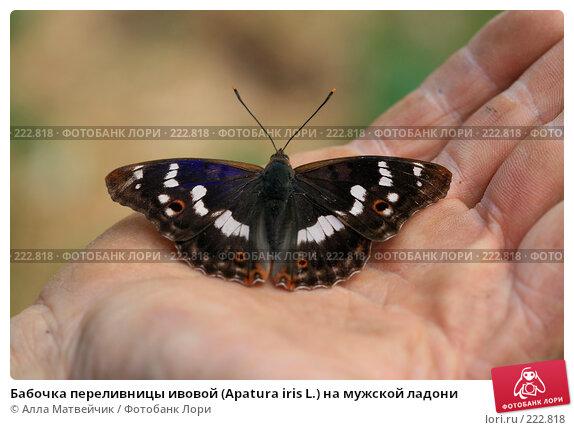 Бабочка переливницы ивовой (Apatura iris L.) на мужской ладони, фото № 222818, снято 14 июля 2007 г. (c) Алла Матвейчик / Фотобанк Лори