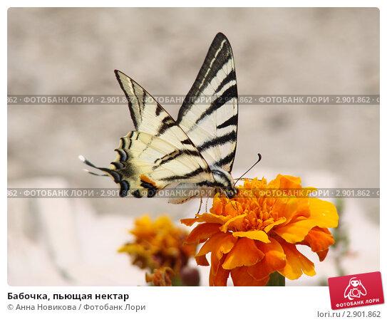 Бабочка, пьющая нектар. Стоковое фото, фотограф Анна Новикова / Фотобанк Лори
