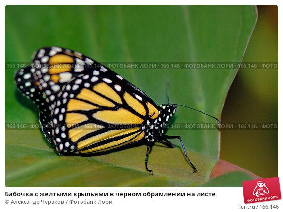 Бабочка с желтыми крыльями в черном обрамлении на листе, фото № 166146, снято 2 января 2008 г. (c) Александр Чураков / Фотобанк Лори