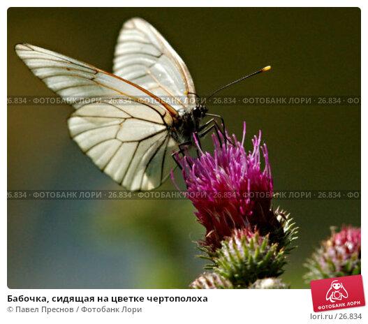 Бабочка, сидящая на цветке чертополоха, фото № 26834, снято 4 июля 2006 г. (c) Павел Преснов / Фотобанк Лори