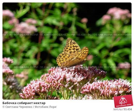 Купить «Бабочка собирает нектар», фото № 93434, снято 17 августа 2006 г. (c) Светлана Черненко / Фотобанк Лори