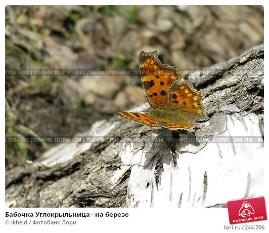 Бабочка Углокрыльница - на березе, фото № 244706, снято 4 апреля 2008 г. (c) ikheid / Фотобанк Лори