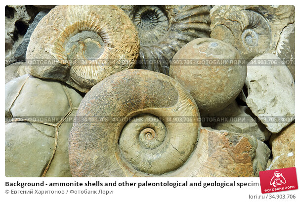 Background - ammonite shells and other paleontological and geological specimens are heaped. Стоковое фото, фотограф Евгений Харитонов / Фотобанк Лори