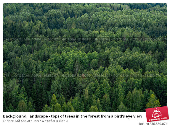 Background, landscape - tops of trees in the forest from a bird's eye view. Стоковое фото, фотограф Евгений Харитонов / Фотобанк Лори