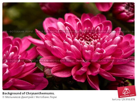 Купить «Background of Chrysanthemums.», фото № 29918878, снято 16 января 2017 г. (c) Мельников Дмитрий / Фотобанк Лори