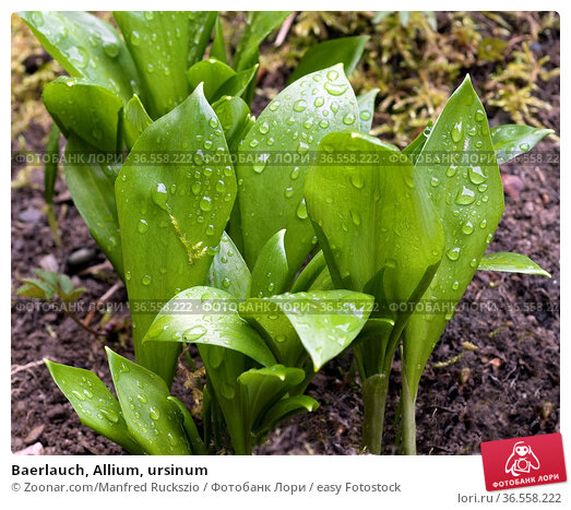 Baerlauch, Allium, ursinum. Стоковое фото, фотограф Zoonar.com/Manfred Ruckszio / easy Fotostock / Фотобанк Лори