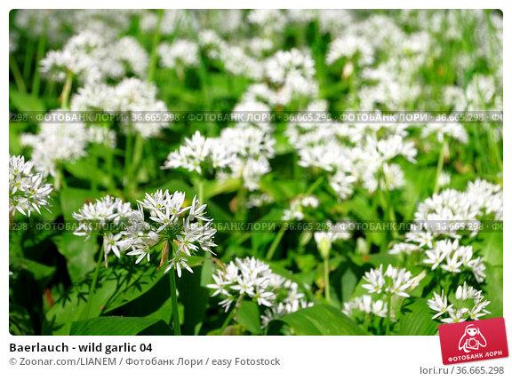 Baerlauch - wild garlic 04. Стоковое фото, фотограф Zoonar.com/LIANEM / easy Fotostock / Фотобанк Лори