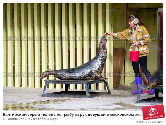 Купить «Балтийский серый тюлень ест рыбу из рук девушки в московском зоопарке», фото № 29224050, снято 10 октября 2018 г. (c) Галина Савина / Фотобанк Лори