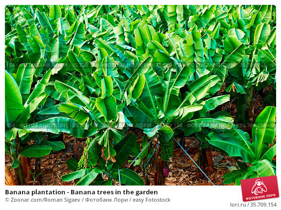 Banana plantation - Banana trees in the garden. Стоковое фото, фотограф Zoonar.com/Roman Sigaev / easy Fotostock / Фотобанк Лори