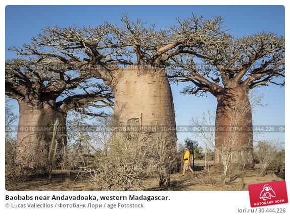 Купить «Baobabs near Andavadoaka, western Madagascar.», фото № 30444226, снято 14 октября 2018 г. (c) age Fotostock / Фотобанк Лори