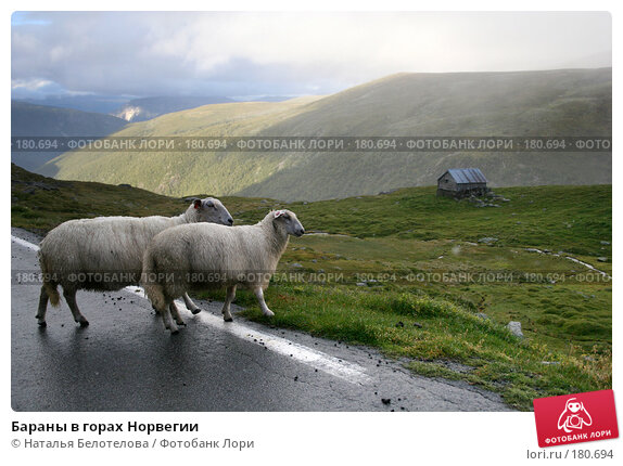 Купить «Бараны в горах Норвегии», фото № 180694, снято 29 августа 2007 г. (c) Наталья Белотелова / Фотобанк Лори