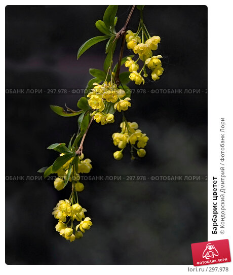 Барбарис цветет, фото № 297978, снято 20 мая 2008 г. (c) Кондорский Дмитрий / Фотобанк Лори