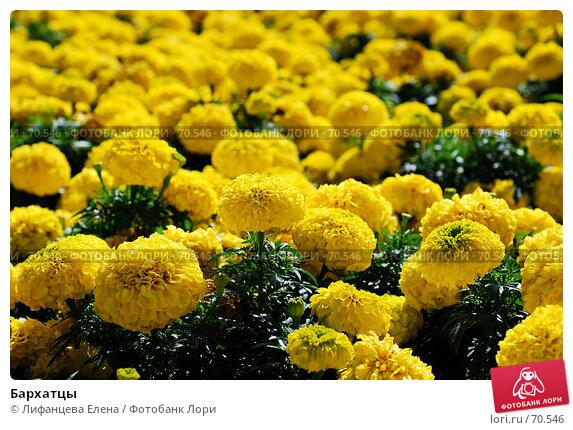 Бархатцы, фото № 70546, снято 10 августа 2007 г. (c) Лифанцева Елена / Фотобанк Лори