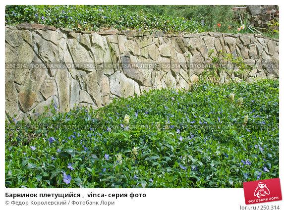 Барвинок плетущийся ,  vinca- серия фото, фото № 250314, снято 12 апреля 2008 г. (c) Федор Королевский / Фотобанк Лори