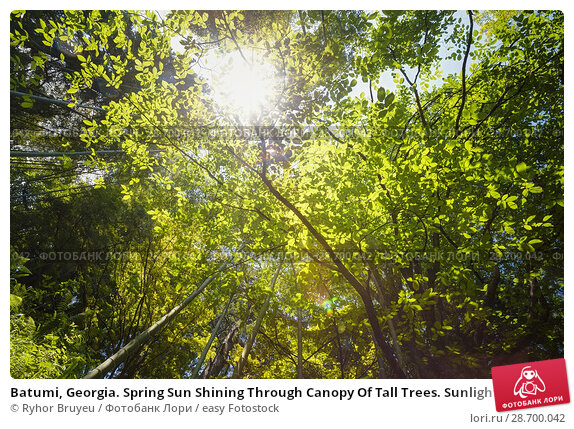 Купить «Batumi, Georgia. Spring Sun Shining Through Canopy Of Tall Trees. Sunlight In Tropical Forest, Summer Nature. Upper Branches Of Different Deciduous Trees...», фото № 28700042, снято 27 мая 2016 г. (c) easy Fotostock / Фотобанк Лори