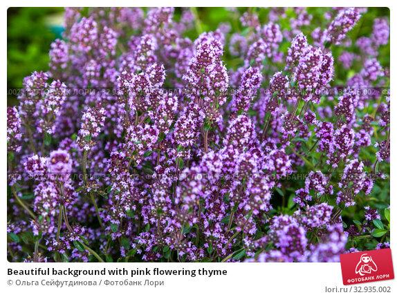 Купить «Beautiful background with pink flowering thyme», фото № 32935002, снято 14 июля 2019 г. (c) Ольга Сейфутдинова / Фотобанк Лори
