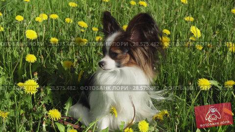 Купить «Beautiful dog Papillon sitting on green lawn with dandelions and eating grass stock footage video», видеоролик № 28575482, снято 6 июня 2018 г. (c) Юлия Машкова / Фотобанк Лори