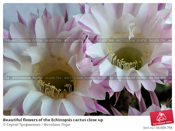 Beautiful flowers of the Echinopsis cactus close up. Стоковое фото, фотограф Сергей Трофименко / Фотобанк Лори