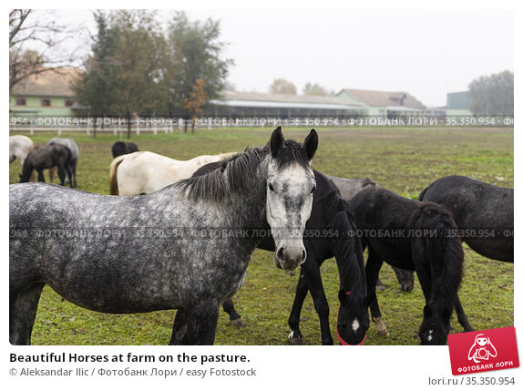 Beautiful Horses at farm on the pasture. Стоковое фото, фотограф Aleksandar Ilic / easy Fotostock / Фотобанк Лори