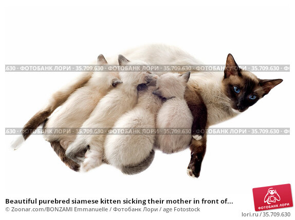 Beautiful purebred siamese kitten sicking their mother in front of... Стоковое фото, фотограф Zoonar.com/BONZAMI Emmanuelle / age Fotostock / Фотобанк Лори