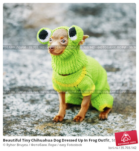 Beautiful Tiny Chihuahua Dog Dressed Up In Frog Outfit, Staying Outdoor... Стоковое фото, фотограф Ryhor Bruyeu / easy Fotostock / Фотобанк Лори