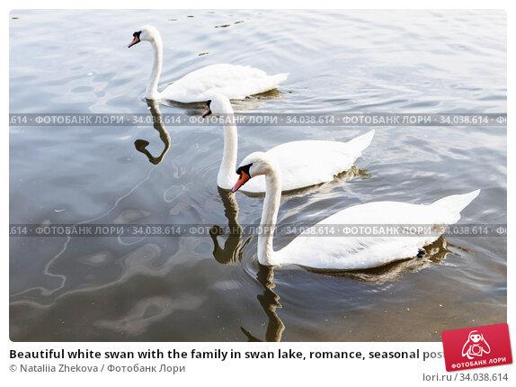 Купить «Beautiful white swan with the family in swan lake, romance, seasonal postcard.», фото № 34038614, снято 25 августа 2017 г. (c) Nataliia Zhekova / Фотобанк Лори