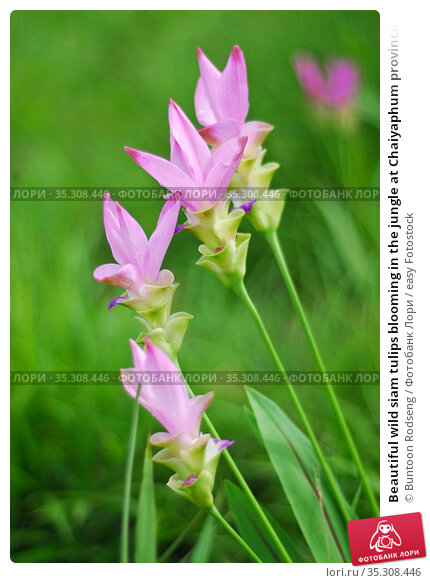 Beautiful wild siam tulips blooming in the jungle at Chaiyaphum province... Стоковое фото, фотограф Buntoon Rodseng / easy Fotostock / Фотобанк Лори