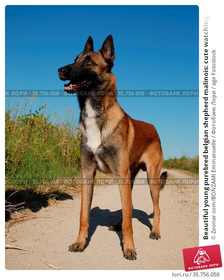 Beautiful young purebred belgian shepherd malinois: cute watching dog. Стоковое фото, фотограф Zoonar.com/BONZAMI Emmanuelle / age Fotostock / Фотобанк Лори