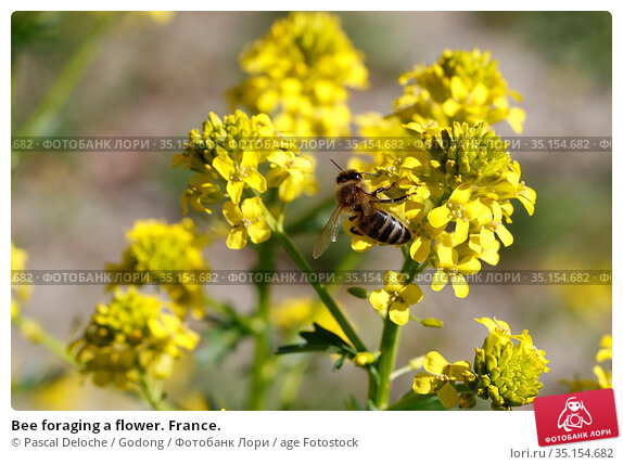 Bee foraging a flower. France. Стоковое фото, фотограф Pascal Deloche / Godong / age Fotostock / Фотобанк Лори