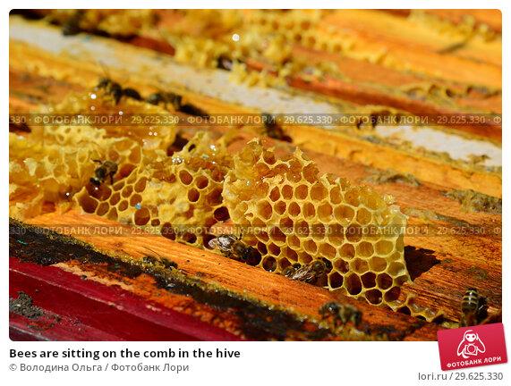 Купить «Bees are sitting on the comb in the hive», фото № 29625330, снято 7 августа 2017 г. (c) Володина Ольга / Фотобанк Лори