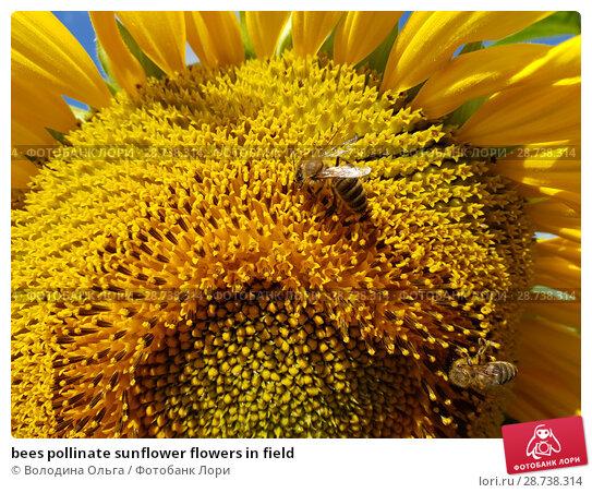 Купить «bees pollinate sunflower flowers in field», фото № 28738314, снято 18 июля 2018 г. (c) Володина Ольга / Фотобанк Лори